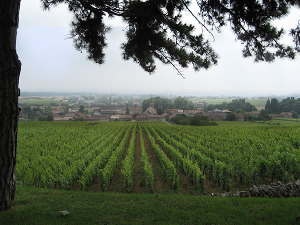 Burgundy Vineyard